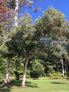 alberid di Eucalipto