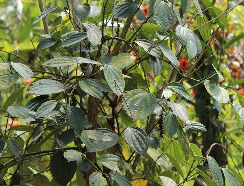 pianta del pepe