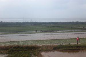 Vietnam riso