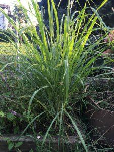 Lemongrass – l'erba fresca al gusto di limone