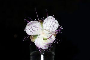 cappero fiore e cuccunc