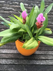 pianta di curcuma decorativa