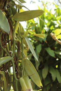 pianta di vaniglia con fiori