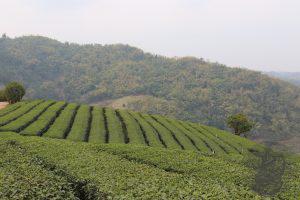 Pantaggioni del tè