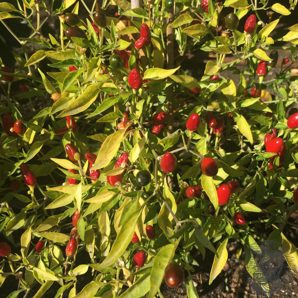 pianta di peperoncino